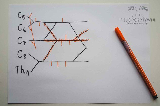 Splot ramienny Splot barkowy Joanna Tokarska Najpierw wpisz w pionowej linii, korzenie od C5 do Th1