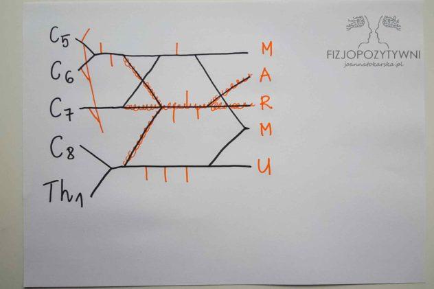 Splot ramienny Splot barkowy Joanna Tokarska Napisz pionowo wyraz MARMU tak, aby każda litera wypadła przy kolejnej gałęzi.
